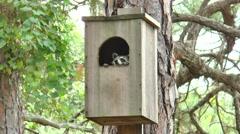 Raccoon in wild habitat during daytime in Florida Stock Footage