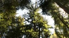 Coastal redwood trees canopy pan Stock Footage