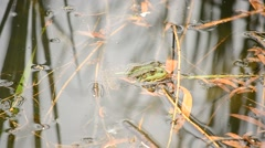 Green pool frog or marsh frog floats on water surface Stock Footage