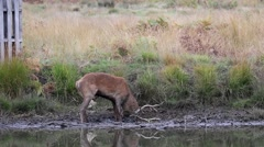 Stock Video Footage of Red Deer Stag Wallowing in Mud by a Pond During Rut.