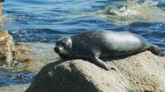 Harbor seal close up Stock Footage