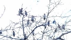 Bohemian Waxwing (Bombycilla Garrulus) Birds Eating Rowan Berries from Tree in Stock Footage