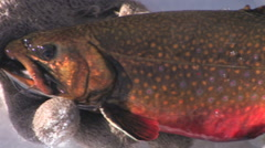 Panning view of a brook trout in full spawning colors Stock Footage