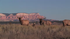 Bull elk bugle in the afternoon sun in the high desert of Utah Stock Footage