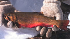 A brook trout in breeding colorizes caught at a high mountain lake Stock Footage