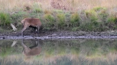 Red Deer Stag Stock Footage