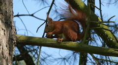 View of a red squirrel eating a nut in Warsaw Stock Footage