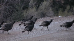 A flock of Turkeys cross the road in the high mountains of central Utah Stock Footage