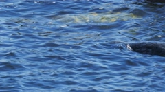 Harbor seal swimming Stock Footage