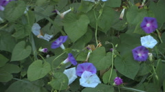 A slow reveal of morning glory flowers in an apple orchard in southern Utah Stock Footage