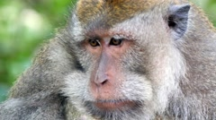Close up portrait  of macaque looking around.mp4 Stock Footage