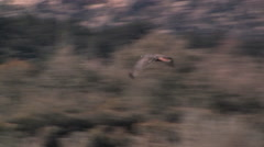 A flying Red-tailed Hawk soars past a cottonwood tree Stock Footage