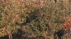 Slow camera zoom of an apple orchard in southern Utah - stock footage