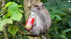 Monkey macaque eating feeding rubbish .mp4 Stock Footage