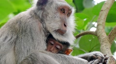 Monkey macaque holding its cub to the breast .mp4 Stock Footage