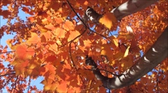 Beautiful golden maple leaves in the fall Stock Footage