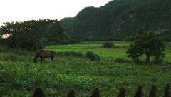 Horse on a green pasture in beautiful Vinales valley Cuba Stock Footage