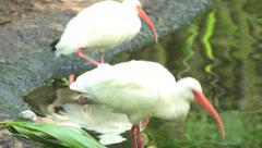American white ibis preening its feathers and hunting by a pond. Stock Footage