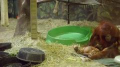A baby orangutan at the zoo Stock Footage