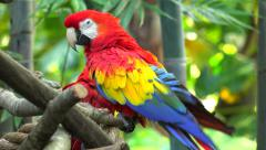 The Scarlet Macaw (Ara macao) sitting on a branch Stock Footage