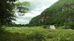 Wind blowing in the tobacco and coffee fields of Vinales valley Cuba Stock Footage