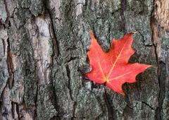 Red maple leaf against tree bark Stock Photos