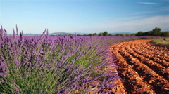 Lavender field edge with red earth at sunrise Stock Footage