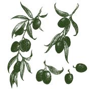 Olive branch vector - stock illustration