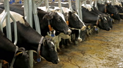 Farm for breeding cows Stock Footage
