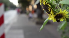 Bumble bee pollinates a sunflower in the city, close up, shallow DOF Stock Footage
