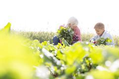 Grandmother and grandson harvesting vegetables in sunny garden - stock photo