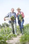 Senior couple harvesting vegetables in garden - stock photo