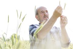 Stock Photo of Serious farmer examining rural wheat stalk crop