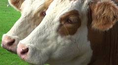 A Close-Up Of A Cow's Face Stock Footage