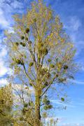 Mistletoe (Viscum album) poplar trees in autumn Stock Photos