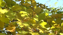yellow leaves fall in the beautiful autumn wood in slow motion - stock footage