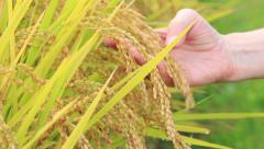 Ripened rice. Stock Footage