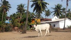 Cow in India Stock Footage