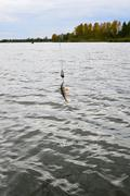 Caught Perch with spinning lure hanging over the water - stock photo
