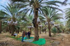 Men harvest fades in El Goula, Tunisia. - stock photo