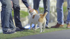Closeup Of Happy Jack Russell Terrier, Two Men From Group Lean Down To Pet Him Stock Footage