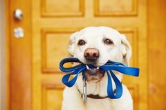 Labrador retriever with leash  is waiting for walk. - stock photo