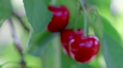 Cherries hanging from a tree Stock Footage