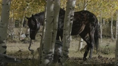 Horse tied to trees outside of camp Stock Footage