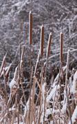 Stock Photo of Mature flower spikes of Typha latifolia Typha reed.  Aquatic herbaceous plant