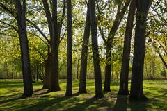 Trees with trunks of poplars Poplars backlit in public park beside the river Stock Photos