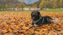 Stock Video Footage of Slow motion, big dog lying infront a lake in autumn leaves