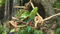 The Military Macaw (Ara militaris) Stock Footage