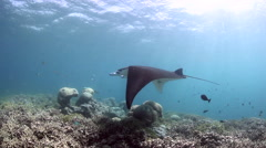 Shallow Reef and Manta Ray Stock Footage