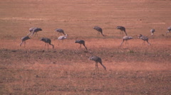 Sand hill cranes search for food in a stubble field Stock Footage